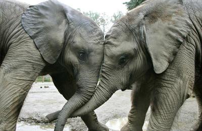 elefanten_duell_1
